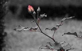 Картинка листья, темный, роза, стебель, rose