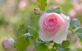Обои лепестки, бутоны, роза