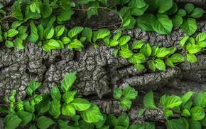 Обои листья, зеленые, кора, дерево