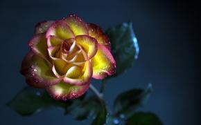 Картинка цветок, фон, роза