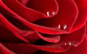Обои роса, красная, лепестки, роза, капли
