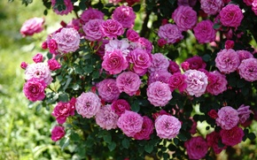 Картинка розовый, куст, розы