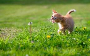 Обои малыш, луг, котёнок, одуванчики, красно-желтый котёнок