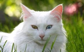 Картинка кошка, трава, кот, газон, белая, разные глаза