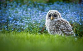 Картинка трава, цветы, сова, птица, птенец, боке, Пёстрая неясыть