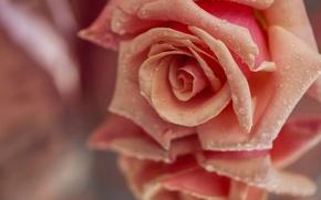 Картинка бутон, макро, лепестки, отражение, капли, роза