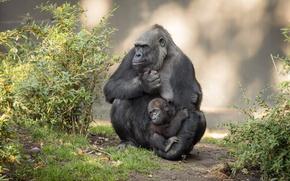 Картинка природа, обезьяны, гориллы