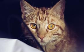 Обои кошка, шерсть, рыжий, глаза, кот