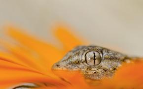 Картинка eyes, lizard, head, reptile