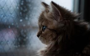 Обои кошка, © Ben Torode, Daisy, окно, дождь