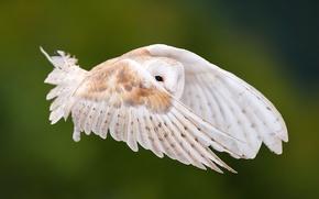 Картинка взгляд, полет, сова, птица, крылья, перья, взмах