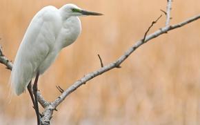 Картинка дерево, цапля, птица, большая, ветки, белая