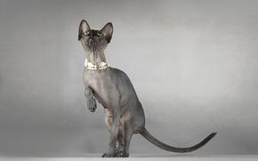Картинка кошка, фон, сфинкс