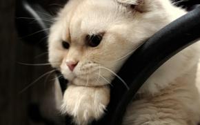 Картинка взгляд, мордочка, скоттиш-фолд, Шотландская вислоухая кошка
