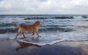 Картинка море, фон, собака