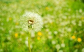 Обои цветы, одуванчик, весна, природа