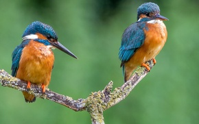 Картинка птица, цвет, ветка, перья, клюв, пара, зимородок, kingfisher