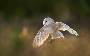 Картинка сова, птица, крылья, белая