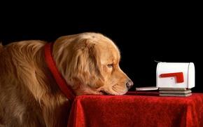 Картинка взгляд, стол, ящик, пёс, почта, cобака