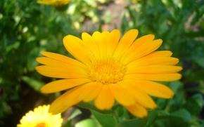 Картинка цветок, лето, Календула