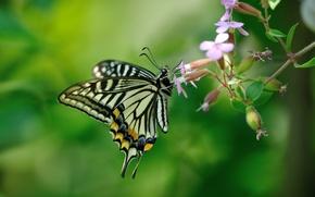 Картинка цветы, фон, бабочка, махаон