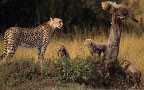 Обои животные, семья, Гепард, детеныши