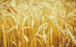 Картинка пшеница, поле, макро, природа, фон, widescreen, обои, поля, рожь, колоски, wallpaper, колосья, широкоформатные, background, колосок, …