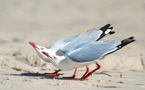 Картинка песок, птицы, две, чайки, серебрянные