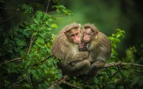 Картинка ветки, обезьяны, детёныш, мартышки, семейка, троица