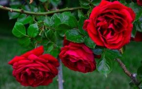 Обои розовый куст, розы, бутоны