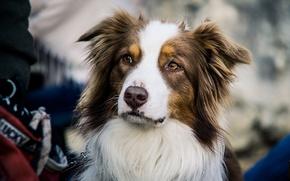 Картинка собака, взгляд, Australian shepherd, друг