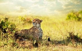 Обои взгляд, хищник, гепард, саванна, Африка, Cheetah, savanna