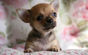 Картинка собака, мордашка, чихуахуа, пёсик