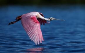 Картинка вода, птица, полёт, Розовая колпица, семейства ибисовых
