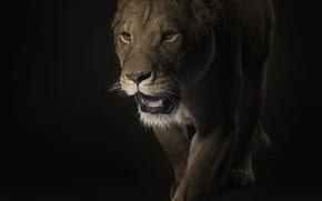 Обои львица, хищник, черный