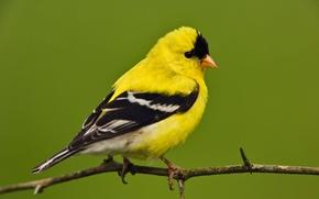 Картинка жёлтый, ветка, чёрный, оперение, птица, белый