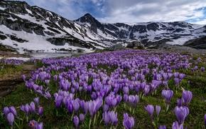 Картинка цветы, горы, луг, крокусы, Болгария, Bulgaria, Rila National Park, Национальный парк Рила, Rila Mountains, горы …