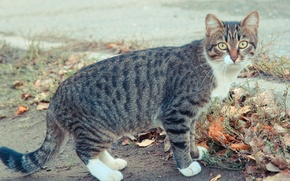 Картинка осень, кошка, глаза, кот, cat, коте