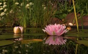 Картинка цветок, природа, озеро, розовый, лепестки, кувшинка, водная лилия