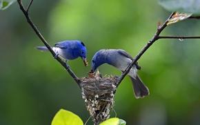 Обои птенцы, птицы, ветка, капля, гнездо