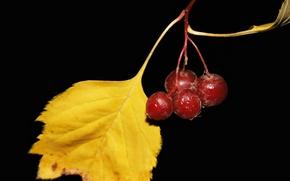 Картинка осень, черный фон, ягоды боярышника