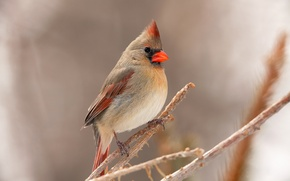 Картинка птица, ветка, перья, клюв, кардинал