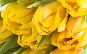 Обои цветы, бутон, много, желтый, весенние обои, тюльпаны