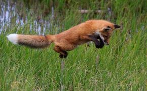 Картинка трава, прыжок, лиса