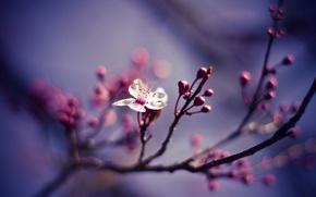 Картинка цветок, макро, природа, вишня, ветви