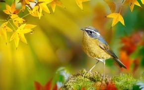Картинка осень, ветки, White-browed Bush-Robin, Тайвань, желтые, птица, FuYi Chen, боке, листья, мох, Tarsiger indicus, макро