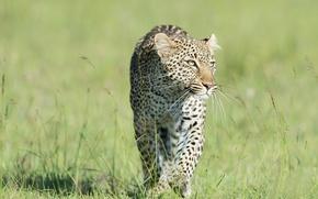 Картинка трава, хищник, леопард