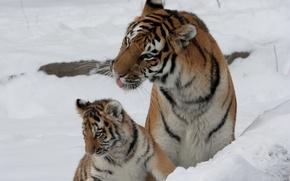 Картинка кошка, снег, тигр, семья, пара, детёныш, котёнок, тигрица, тигрёнок, амурский