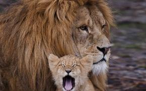 Картинка задумчивость, уверенность, сила, спокойствие, мощь, отец, Львы, детеныш, сын, серьезность, беззаботность, надежность, защищенность, беспечность