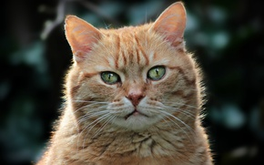 Картинка кошка, кот, морда, фон, портрет, рыжий, зеленоглазый